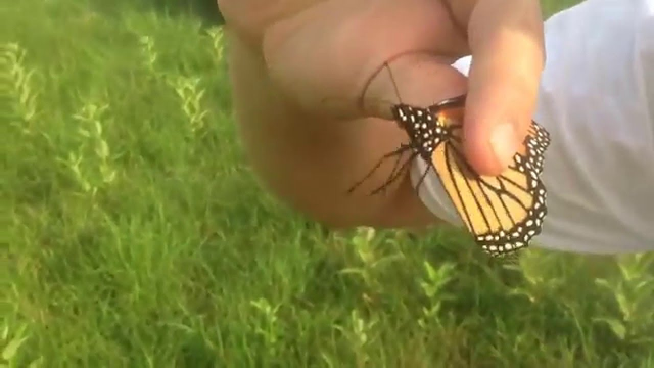 Uncategorized Butterfly Hand catching wild monarch butterfly by hand part 1 youtube