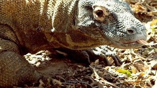 How Big Is a Komodo Dragon?