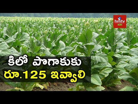 Tobacco Cultivation Tips | hmtv Agri