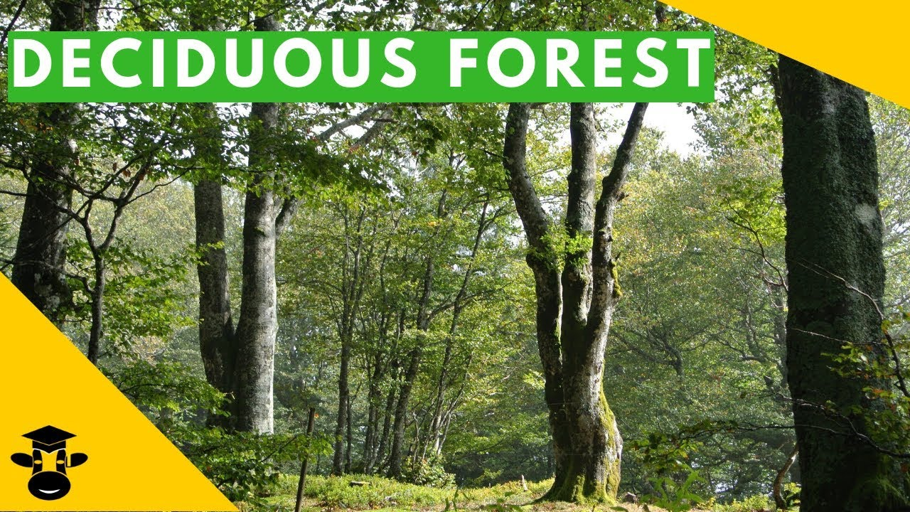 Habitat management alternatives for conservation forests in the temperate zone: The Temperate Deciduous Forest Biome Youtube