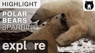 Polar Bears Sparring In The Tundra thumbnail