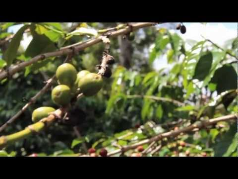 Thumbs Up Africa Vlog #5: Fair Trade Coffee Plantage