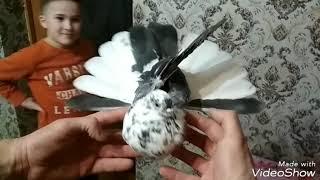 Обзор вновь приобретённых голубей. Николаевские голуби ????️