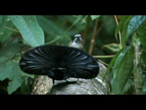 Paradiesvogel Tanz