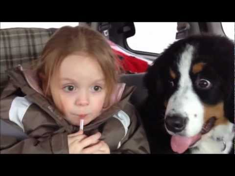 Bernese Mountain Dog - Puppy - Car Ride Addventures