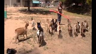 2014-05-10 Teaching Goats To Herd