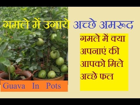 How To Grow Guava Tree Faster Best Guavas In Pots