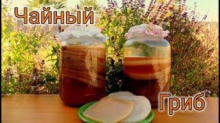 Чайный гриб и как за ним ухаживать (Жизнь в американской деревне)