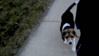 Distraction Free Off Leash Beagle