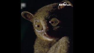 Philippine tarsier: World's second-smallest primate   CCTV English