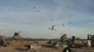 منتديات عنيزة نت - صيد طيور البط في المستنقعات