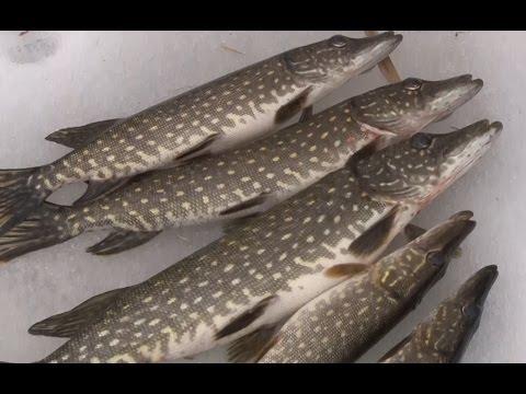 Cмотреть видео онлайн Зимняя рыбалка закрываем сезон. Ловим щуку на жерлицу.