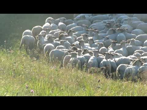 Herding: Australian Shepherd Chaplin & Flame - Schafe hüten (1)