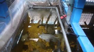 筍殼魚...吃飯飯....魚菜共生的筍殼魚喔~~~