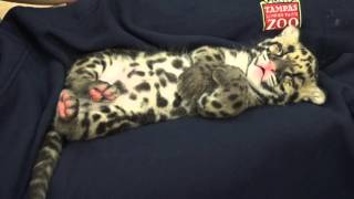 Catnapping Clouded Leopard Cub thumbnail
