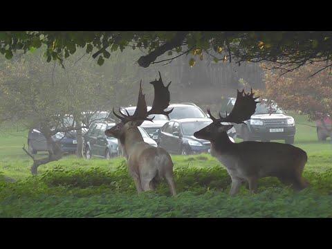 Fallow Deer Rut 2015