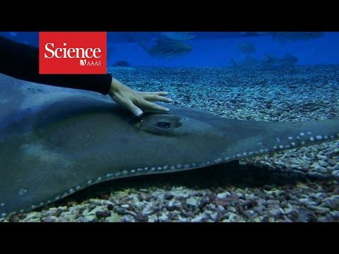 Giant Guitarfish Eye Gymnastics