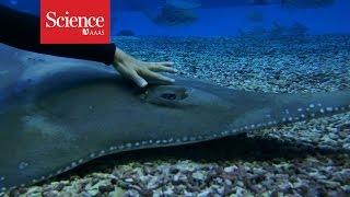 Giant guitarfish eye gymnastics
