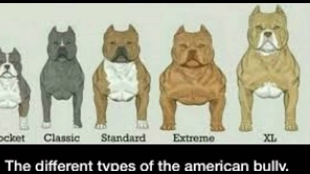Characteristics of the American Bully