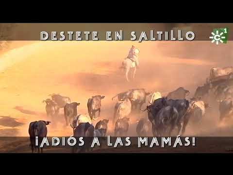 Destete de becerritos de la ganadería El Saltillo | Toros desde Andalucía