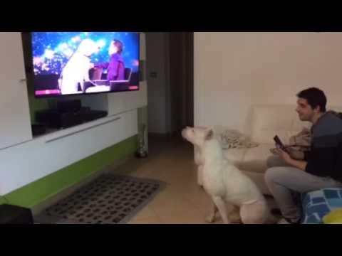 Singer dog - dogo argentino sing whitney houston