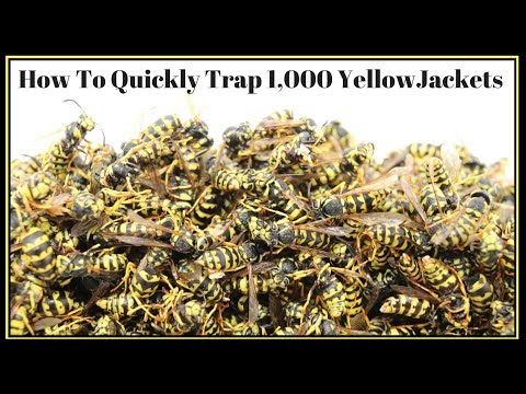 How To Quickly Trap 1,000 YellowJackets In Just Hours.   Mousetrap Monday