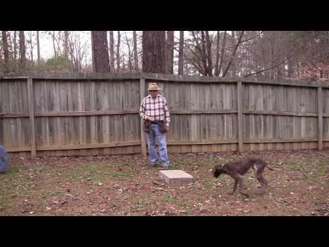 Boone (GSP)  - Positive Gun Dog Training - 2 7 17
