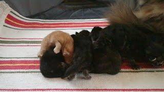 Котята Мейн Кун VII сезон. Питомник Lovitven