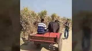 Jhota buggi race Deepak kandela