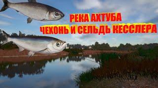 Русская Рыбалка 4 река Ахтуба ловля на мах точка для фарма чехони и сельди Russian Fishing 4