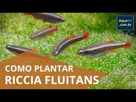 Como plantar Riccia fluitans no aquário