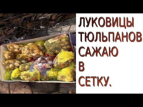 ПОСАДКА ЛУКОВИЦ ТЮЛЬПАНОВ ПОД ЗИМУ В СЕТКУ!