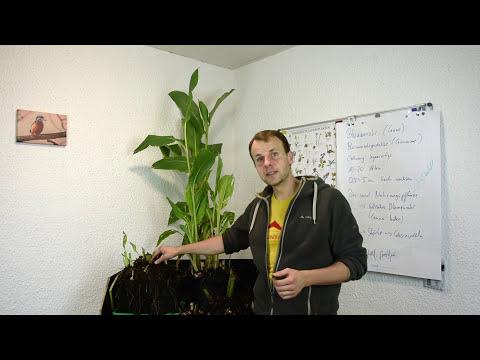 Indisches Blumenrohr (Canna indica) überwintern - Glasnudeln - gartenschlau.com