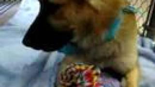 Montana (Plexico) #1 (Adopted 3/22/07) - AAWL & AZ SPCA