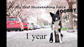 Dobby border collie 1 year!   tricks & fun