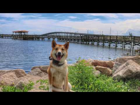 """10 month Old Shiba Inu """"Atticus"""" 