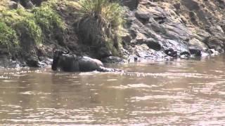 Lucha cocodrilo y ñu en Rio Mara - Fight wildebeest and crocodile in Rio Mara