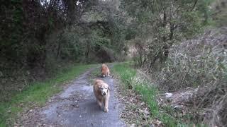 鹿に出会った後でゴールデンレトリバーと春探し thumbnail