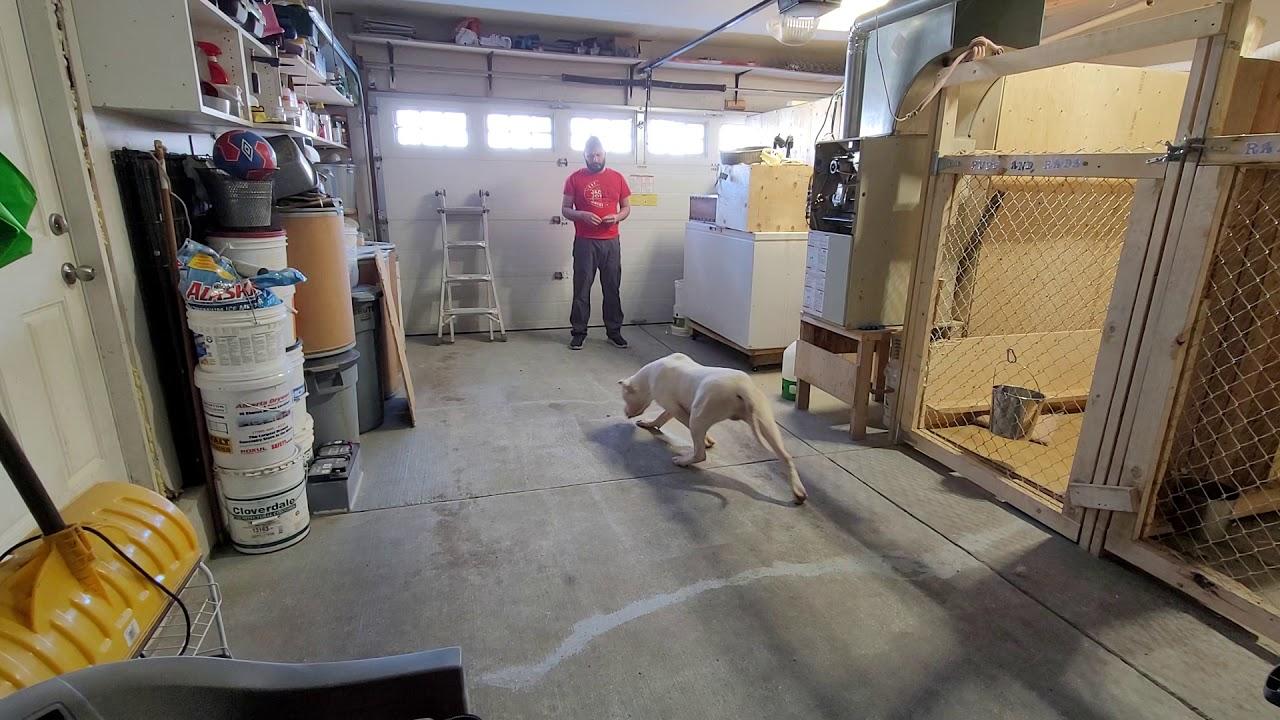 Dog training dogo argentino