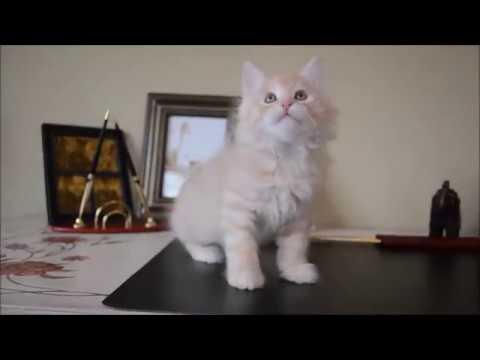 Котенок курильского бобтейла (2 месяца)