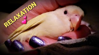 THIS IS TOTAL CONTENTMENT FOR MOHEGAN THE BABY LOVEBIRD 💕