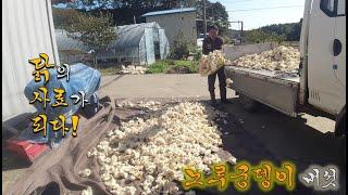 대규모 노루궁뎅이 버섯 농사의 실패---농사 쉽지 않네…