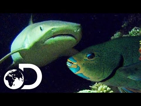 Deadly Shark With Super Senses Hunts For Parrot Fish | Wildest Islands Of Indonesia