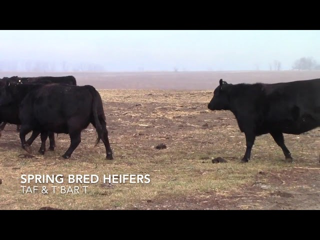 Taliaferro Angus \u0026 T Bar T Angus Ranch - Spring Bred Heifers
