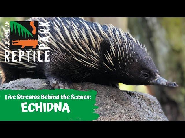 LIVE WITH ECHIDNAS   AUSTRALIAN REPTILE PARK
