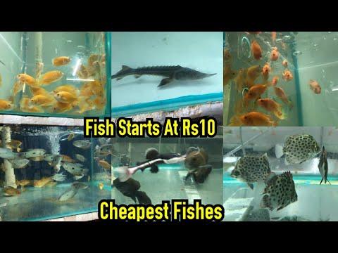 Oscar, Gourami, Sturgeon, Kissing Fish, Gold Fish, Koi Carp, Fish For Sale At ARK AQUATICS