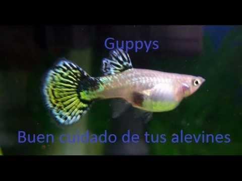 Guppy cuidados de tus alevines youtube for Cuidado de peces