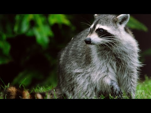Raccoon attacks on the rise in Toronto