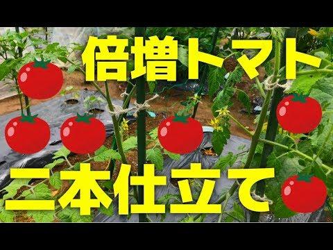 トマト 仕立て ミニ 2 本