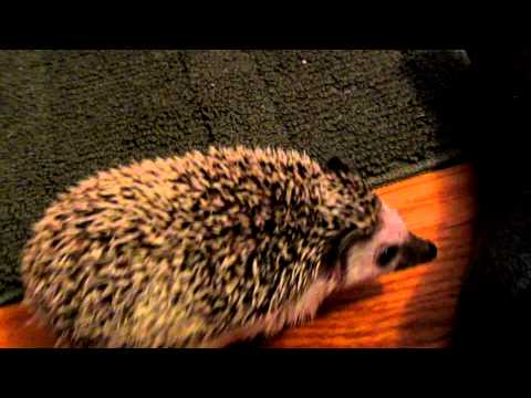 Hedgehog Playing Around
